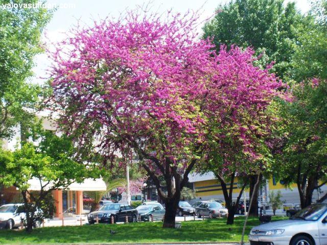 Sagina sabulata centrovivai garden center for Offerte piante da giardino