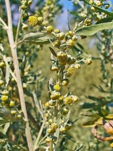 449px-Artemisia_absinthium_0002