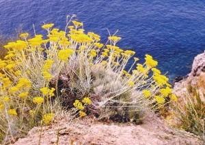 Helichrysum italicum, Asteraceae.