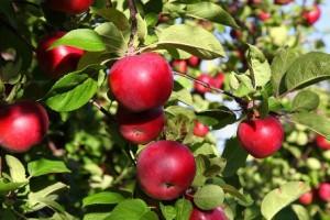 La potatura del melo centrovivai garden center for Potatura del melo