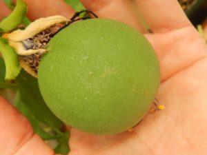 Passiflora 'Araba Fenice' (frutto)