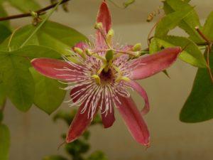 Passiflora da nominare (ibrido di racemosa)