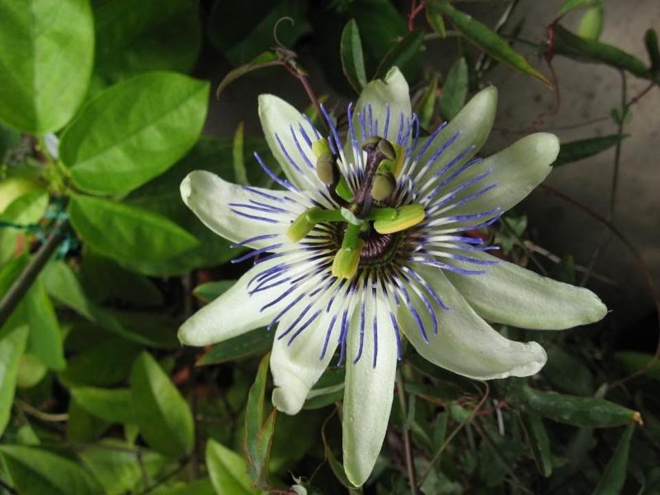 Passiflora_ Amethyst_x_Passiflora_caerulea