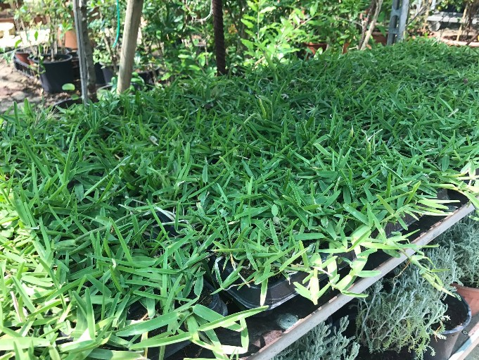 Piante di stenotaphrum secundatum for Piante a foglia larga da esterno