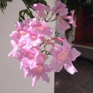 bignonia_contessa_sarah