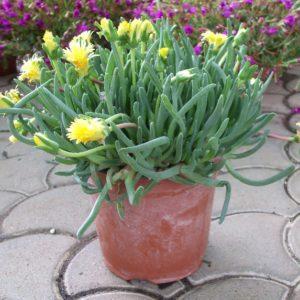 cheiridopsis-cygarettyfolia
