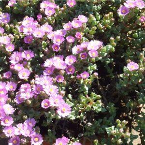 oscularia_deltoides