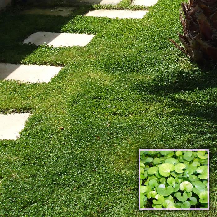 Prato di dichondra repens dicondra centrovivai garden for Erba per prato che non si taglia