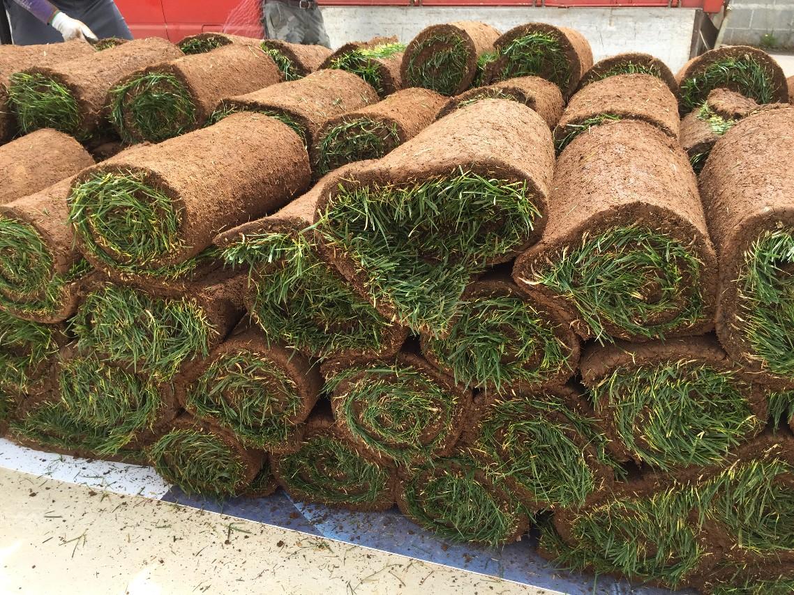 Manutenzione Prato Di Gramignone festuca prato inglese rustico calpestabile - centrovivai