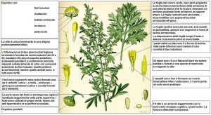 """Artemisia absinthium - Kohler DESC"" di Franz Eugen Köhler - Köhler Medizinal-Pflanzen.  Con licenza Pubblico dominio tramite Wikipedia"