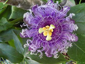 Passiflora Araba Fenice (ibrido edulis)