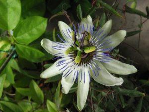 Passiflora Amethyst x Passiflora caerulea passiflora rampicante centrovivai garden center stefania mattiuzzo ricerca
