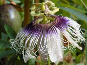 Passiflora edulis fm