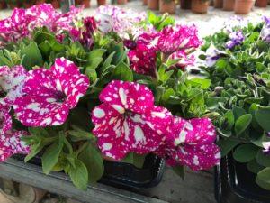 Petunia hibrida potunia centrovivai 2017